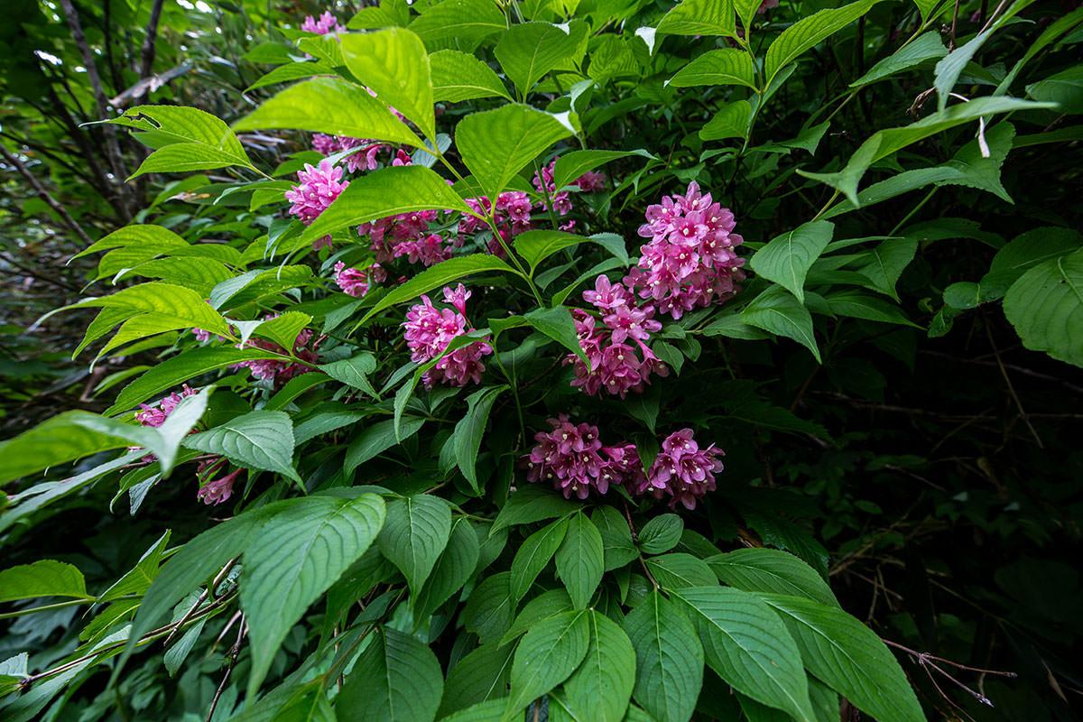【白馬岳 栂池自然園】登山百景-いっぱい咲いている