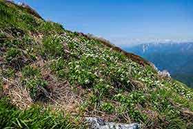 仙ノ倉山の登りにも花が多い