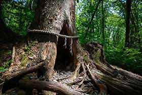 注連縄の掛けられた杉もある