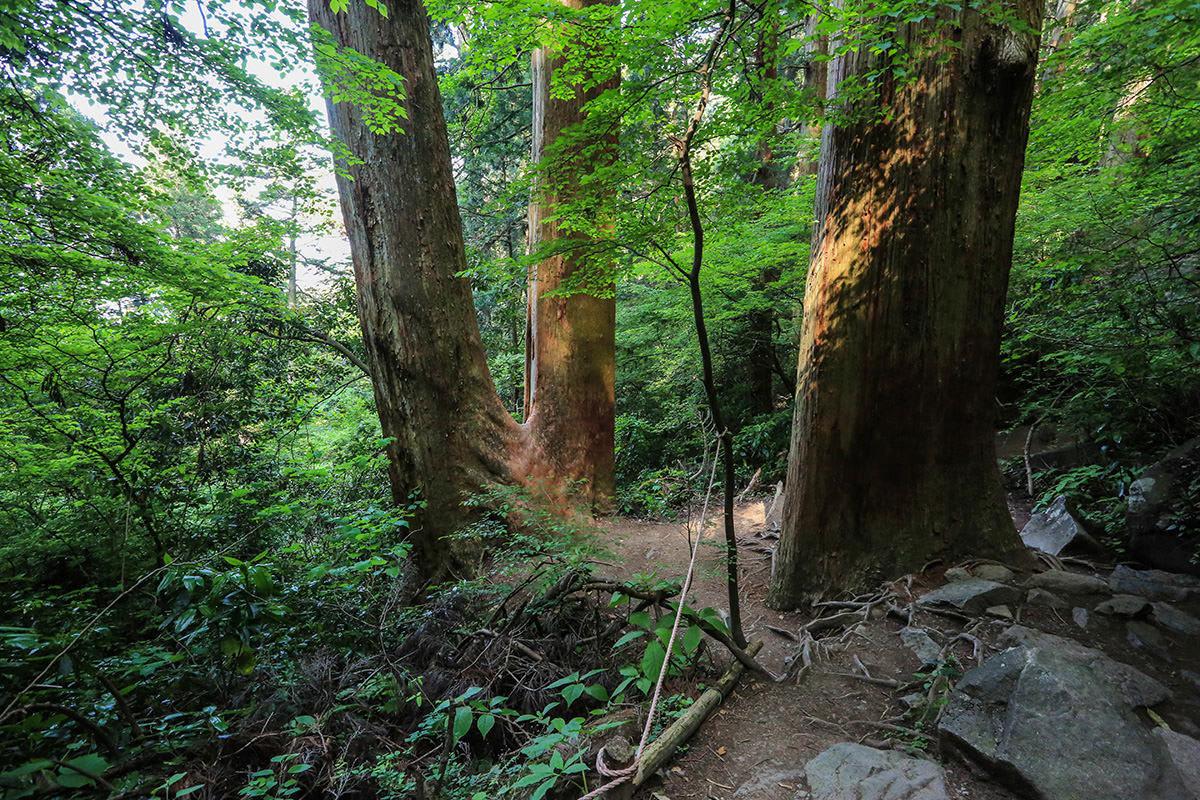 【筑波山】登山百景-太い夫婦杉