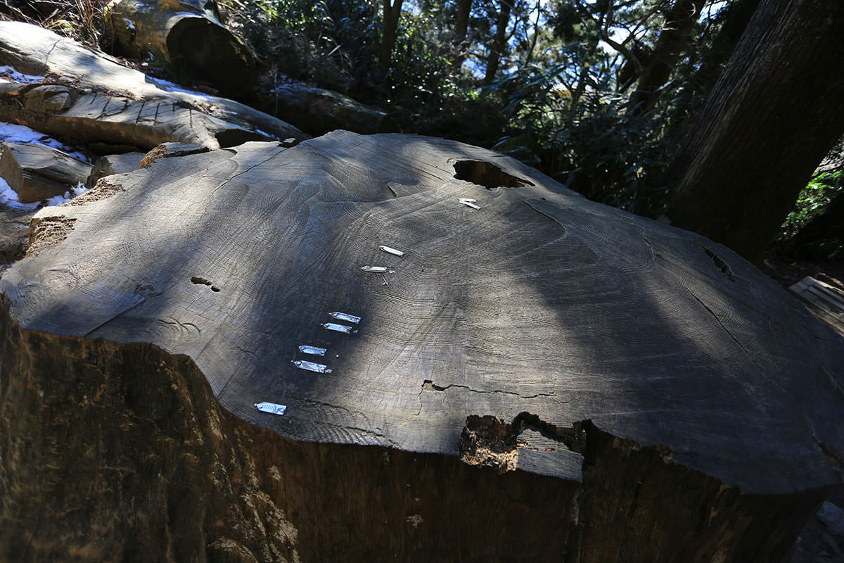 【筑波山】登山百景-23年に倒れた巨木の株
