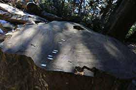 23年に倒れた巨木の株