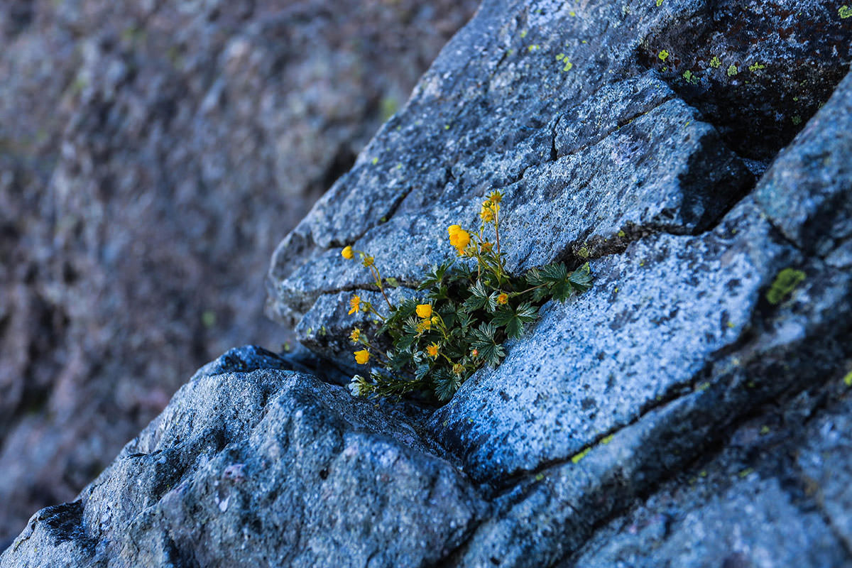 槍ヶ岳-槍ヶ岳の岩壁に花