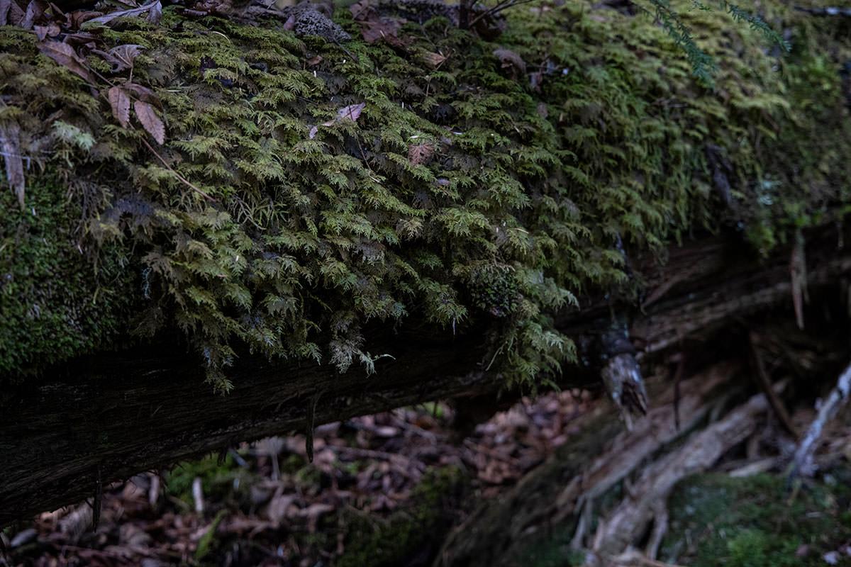 倒木にはビッシリと苔が生している