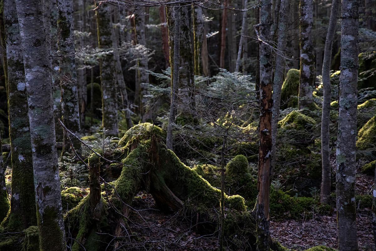 森の中の苔も朝陽を受けている