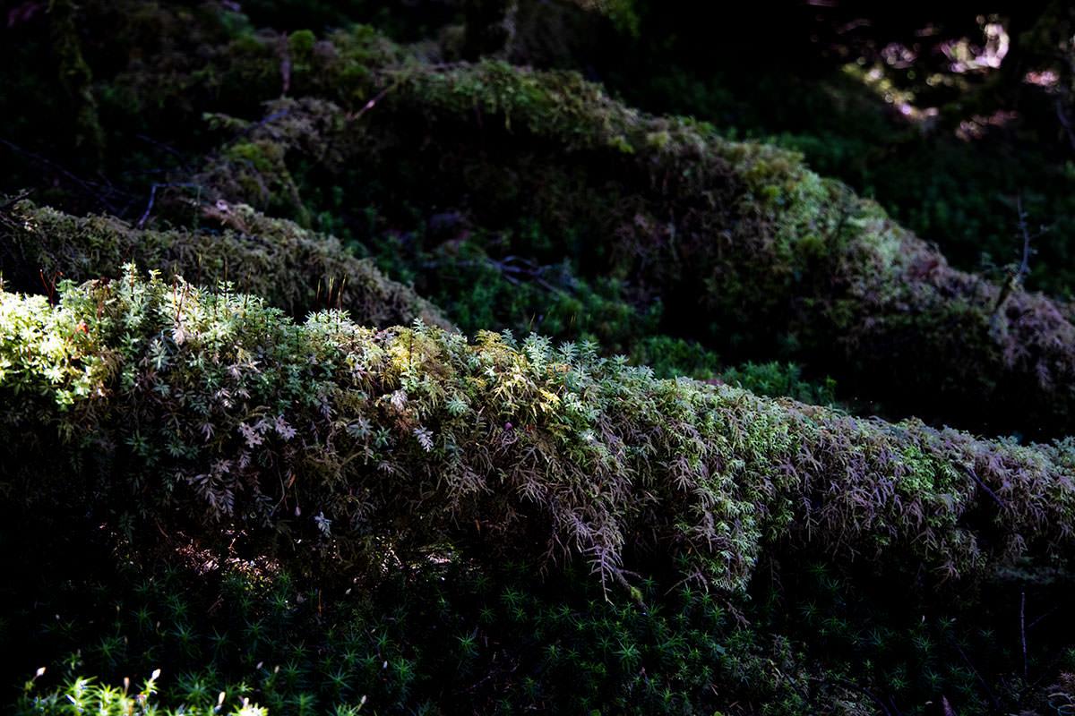 倒木には苔がびっしり