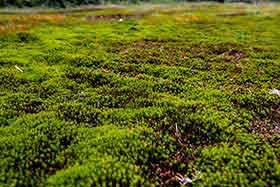 苔が厚く生えているのでフカフカして歩きやすい
